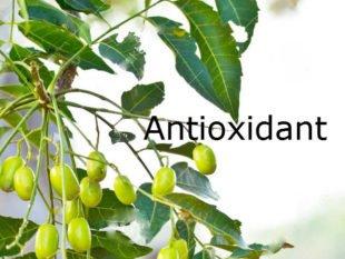 Azadirachta indica antioxidant